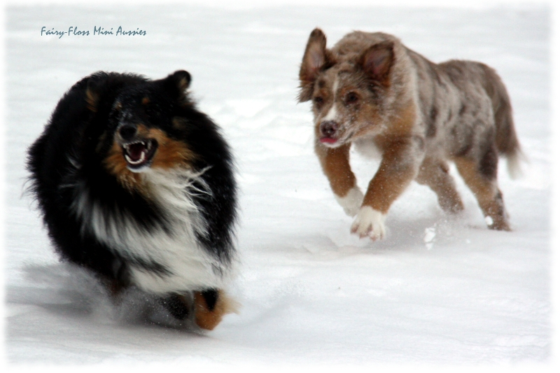 Mini Aussies in Aktion