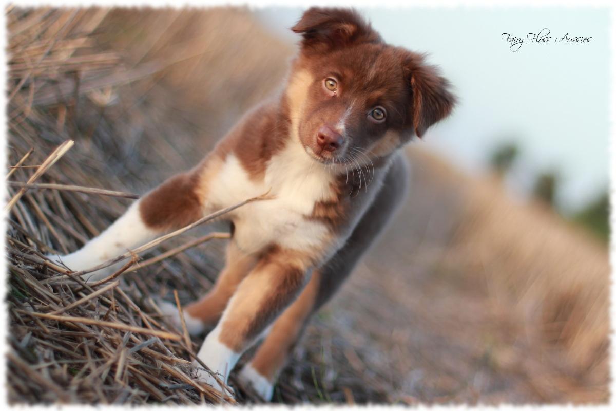a short background information on the australian shepherd