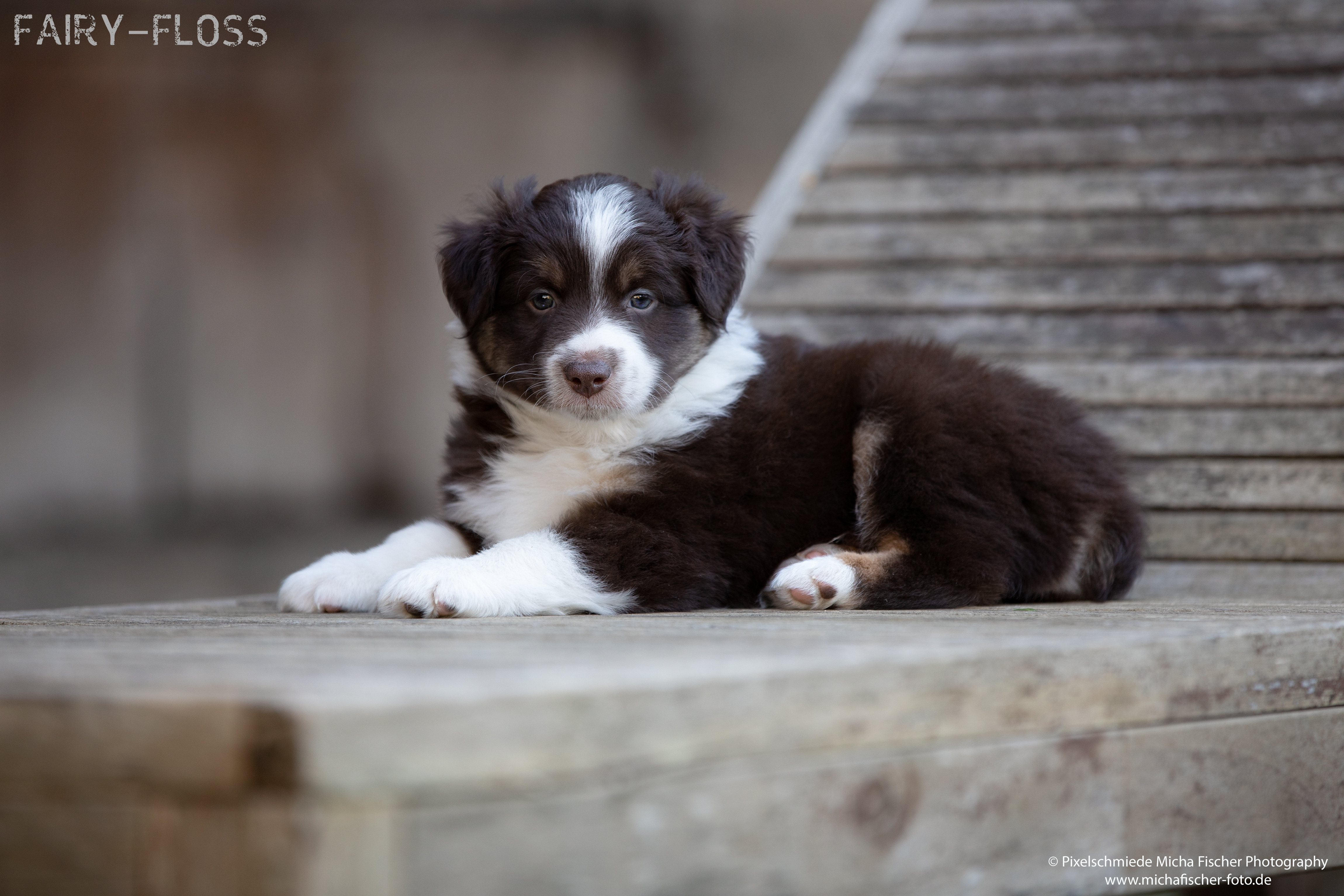 Fairy-Floss-Aussies - Mini Aussie / Mini Amercian Shepherd